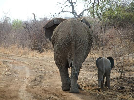The Bush House: On game drive - Ellie mum and calf