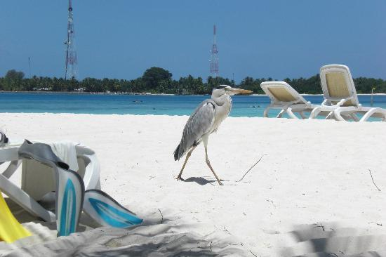 Kuramathi Island Resort: Naughty Heron!