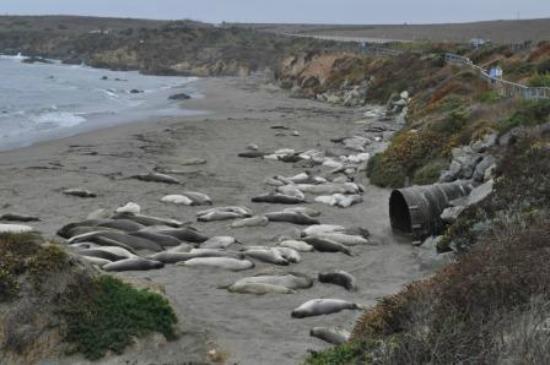 Central Coast Outdoors: Elephant seals resting