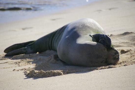 Grand Hyatt Kauai Resort & Spa: Hawaiian Monk Seal on the GHK beach resting