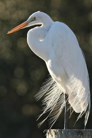 Up the Creek Pub & Grill: Great Egret at the Dock at Up the Creek Pub
