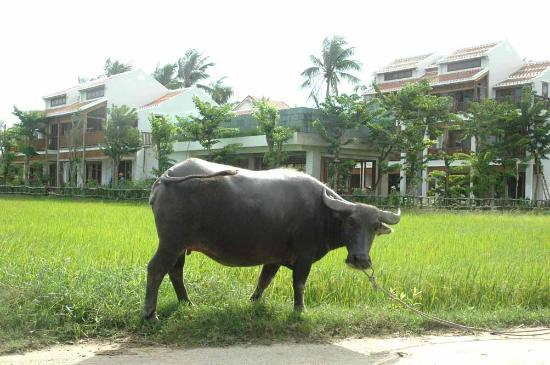 Hoi An Chic Hotel: buffalo friend