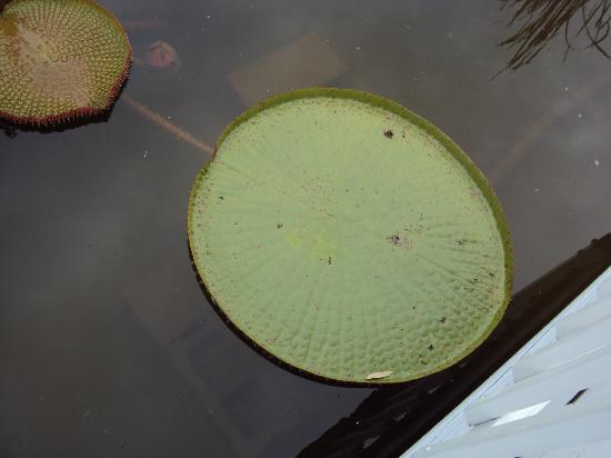 Lilypons Water Gardens: giant lily pad
