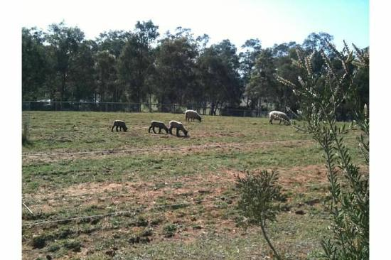 Elfin Hill: Spring lambs
