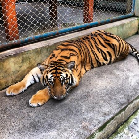 Ping Nakara Boutique Hotel & Spa: tiger at tiger temple