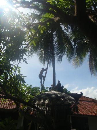 Rini Hotel: coconut harvest
