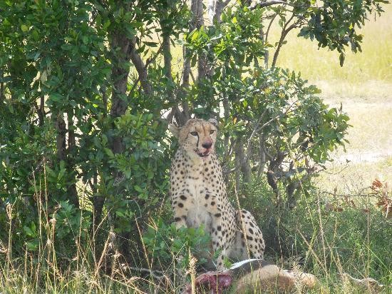 Mara Eden Safari Camp: The cheetah taking a break after the chase and kill.