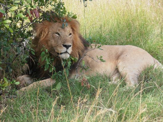 Mara Eden Safari Camp: The contented/satisfied lion