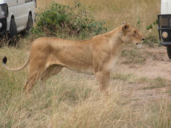 Mara Eden Safari Camp: The lioness on the lookout