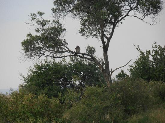 Mara Eden Safari Camp: The tawny eagle on the lookout.