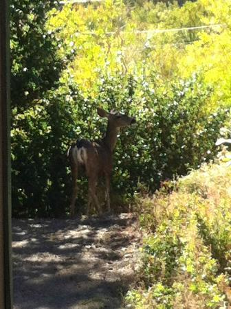 Bishop Creek Lodge: Deer at our front deck