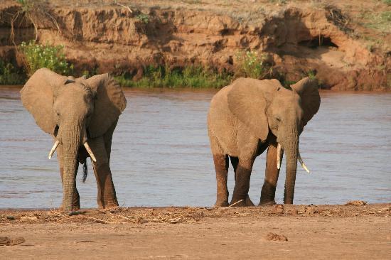 Maralal - Ngari Hill Guesthouse: De olifanten in Samburu NP