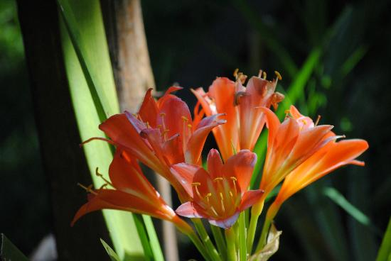 Knysna Tonquani Lodge & Spa: the clivia's is in full bloom