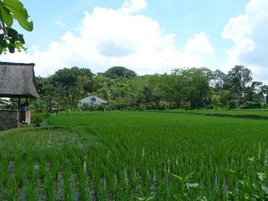 Saren Indah Hotel: lush green paddy field