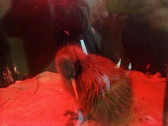 West Coast Wildlife Centre: 10 week old kiwi chick in the incubator