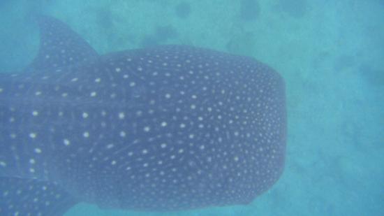 Lily Beach Resort & Spa: whaleshark trip