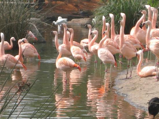 Belen de Escobar, Argentina: Flamingos