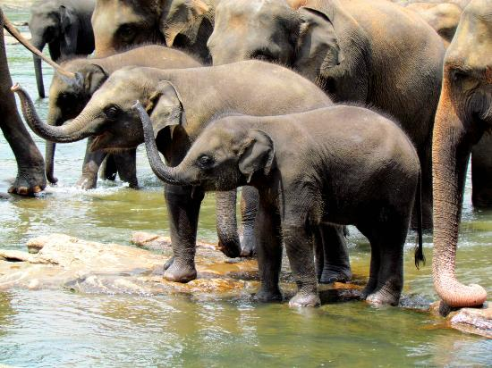 Pinnawala Elephant Orphanage: 30