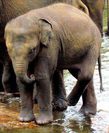 Pinnawala Elephant Orphanage: 32