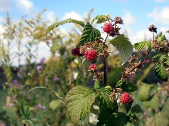 A Valley View B&B : Pick wild raspberries on your walks!