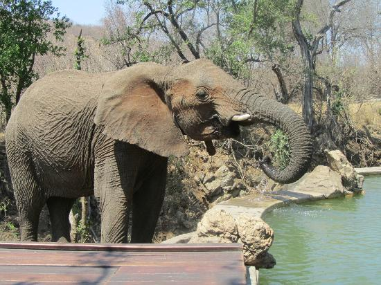 Impodimo Game Lodge: Elephant drinking from the swimming pool