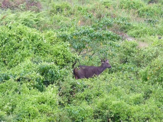 Jungle Palace Homestay: deer caught on camera - shot from the balcony
