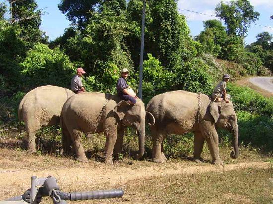 Elephants près de Ngwe Saung