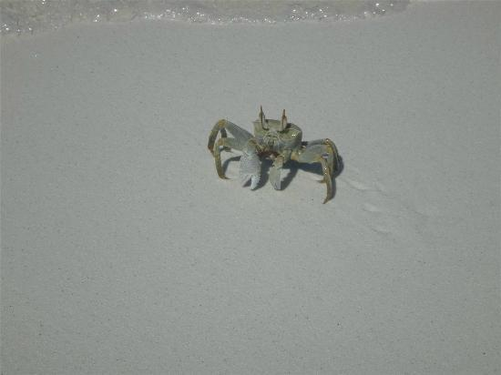 Diamonds Thudufushi: Ghost Crab