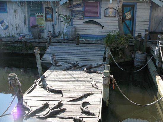 Jacksonville Beach, FL: Live Alligators - they offer food you can purchase to feed the gators.