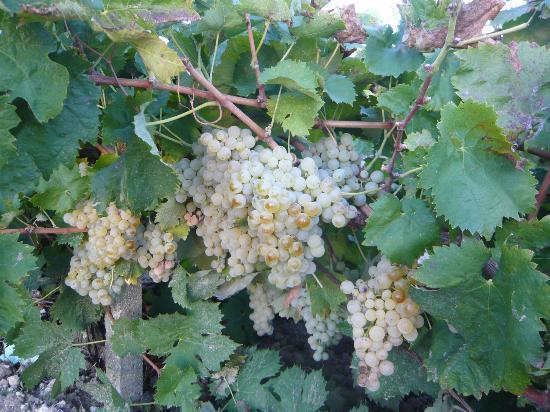 Baglio Donna Franca: Their vineyard