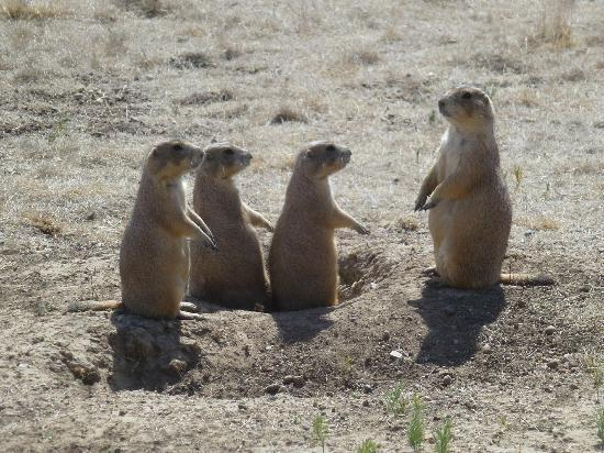 Devils Tower, WY: Momma Prairie Dog and kidz