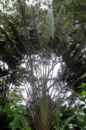 Cabinas Iguana: Arbre du Voyageur