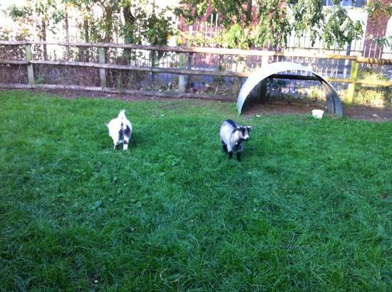 Windmill Hill City Farm: pygmy goats!