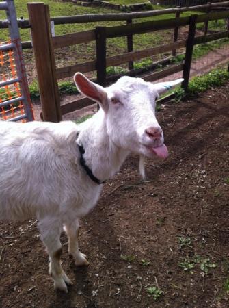 Windmill Hill City Farm: cheeky goat