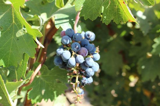 Frog's Leap Winery : Grapes