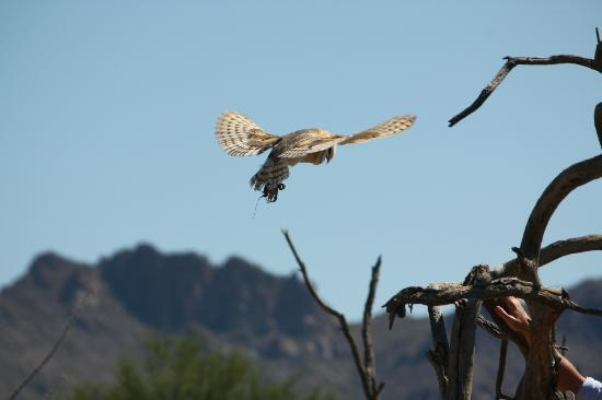 Museu do Deserto de Sonora - Arizona: Owl