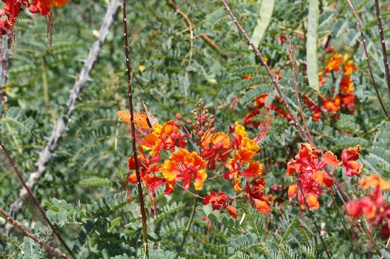 Arizona-Sonora-öken-museet: flowers attract the butterflies