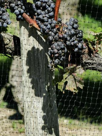Cape May Winery: Grapes on Vine