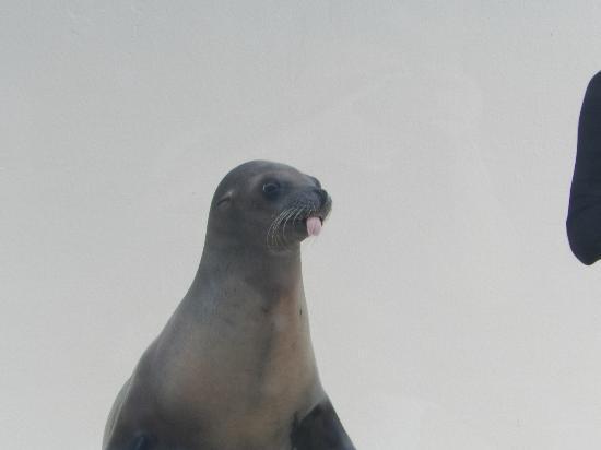 Gulfarium Marine Adventure Park: Sea lion showing off during the show