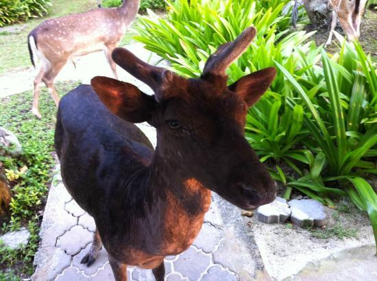 Sibu Island Resort: Deer