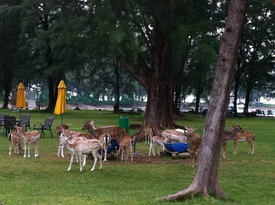 Sibu Island Resort: Roaming animals - good for the kids.