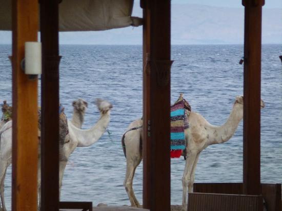 Sea Sun Hotel Dahab: camels wandering by
