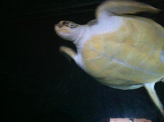 Aquarium de Biarritz: Turtle