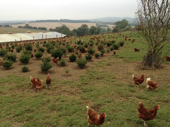 Skylark Fields Farm Cafe: Chickens and Christmas Trees, on the drive up to the farm