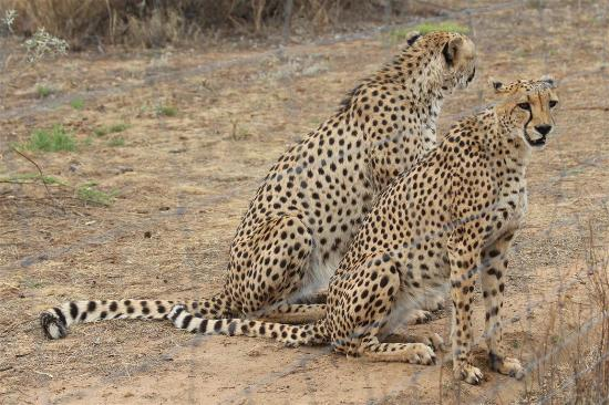 N/a'an ku se Lodge and Wildlife Sanctuary: Cheetahs