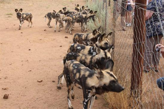 N/a'an ku se Lodge and Wildlife Sanctuary: Wild dogs