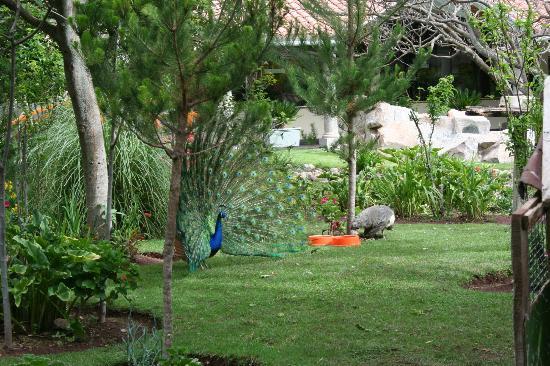 Aranwa Sacred Valley Hotel & Wellness : Peacocks