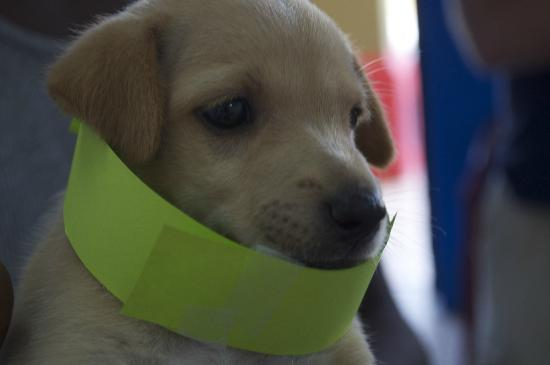 The Maine Stay Cabanas: Small pup, large clinic id tag! :)