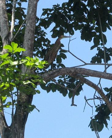 Hotel Playa Bejuco: tiger heron bij het zwembad
