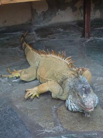 Aquaworld Aquarium & Reptile Rescue Centre: Iguana